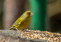 Greenfinch-1 (worlknut) Tags: green birds feeding wildlife flash greenfinch pennington