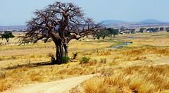 African Journey (Tomas Pfeifer) Tags: travel landscape tanzania outdoor safari journey baobab ruaha ruahanationalpark
