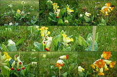 Echte Schlsselblume (Primula veris) (happycat) Tags: orange flower rot collage germany thringen jena gelb blume wildflower primulaveris wildblume anomalie schlsselblume echteschlsselblume anomaliebltenfarbe blumedesjahres2016inde