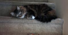 Veesee (Eriserinyes) Tags: cats beautiful canon greeneyes lazy calico playful pinknose whitepaws seattlewashington veesee