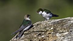Violet-green Swallows (Bob Gunderson) Tags: california birds northerncalifornia southbay swallows santaclaracounty ranchosanantonio violetgreenswallow tachycinetathalassina
