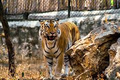 La peur est la racine de la colère. (- Ali Rankouhi) Tags: park india tiger bangalore safari national bannerghatta karnataka باغ 2016 سفر 1395 وحش هند ببر کارناتاکا