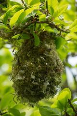 Bushtit (Psaltriparus minimus) (ekroc101) Tags: birds vancouver bc coalharbour bushtit psaltriparusminimus