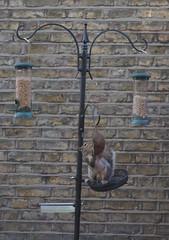 Squirrel snack (sflangridge) Tags: squirrel greysquirrel aphotoaday