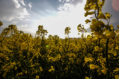 yellow gold rape (FarbenfroheWunderwelt) Tags: flowers summer sun nature field yellow canon walk awesome natur rape raps catchy uww eos550