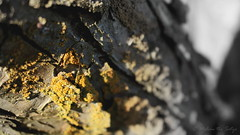 the occurence of yellow in nature (=Melvin the Satyr=) Tags: tree yellow bark lichen