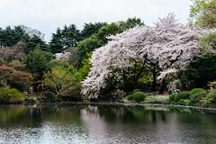 () Tags: japan tokyo cherryblossom  sakura   hanami shinjukugyoen   sonya7 zeissbatis85mmf18