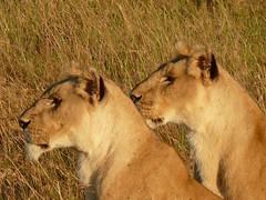 Two Lionesses ! (Mara 1) Tags: africa eyes faces kenya wildlife ears mara masai bigcats