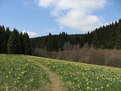 IMG_8567 (Bike and hiker) Tags: ardennen ardennes eifel hellenthal narzissen narcissen oostkantons rocherath olef krinkelt holzwarche jansbach bachtaler