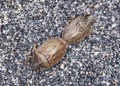 Mating Turtle Shieldbugs - Podops inuncta (Prank F) Tags: macro nature closeup bug insect turtle wildlife mating shieldbug wildlifetrust knobbed podopsinuncta northantsuk ditchfordlakesmeadows