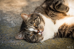 IMG_1267 (SomeExtraCandid) Tags: portrait animals cat