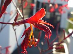 Austrieb Roter Fächer-Ahorn (Jörg Paul Kaspari) Tags: red rot garden spring acer garten frühling palmatum roter austrieb blattaustrieb wincheringen moderngarden fächerahorn acerpalmatum´fireglow´ ´fireglow´