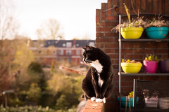 Finally (Fardo.D) Tags: trees light cat golden spring chat balcony kitty tuxedo neko katze karel gao afternoom