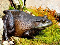 On a warm Spring Day........ (l_dewitt) Tags: nature native frog naturepreserve bullfrog backyardwildlife wildlifeimages naturephotos wildlifephotos natureimages southernnewengland connecticutwildlife southeasternconnecticut newenglandwildlife nationalwildlifemagazinephotogrouppool earthnaturelife nikonwildlifephotos