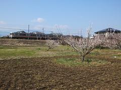 16i5213 (kimagurenote) Tags: apricot ume  japaneseapricot  prunusmume  sogabairin gotembaline    odawarakanagawa shimosogastation