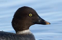 Common Goldeneye, female (markvcr) Tags: bird duck goldeneye