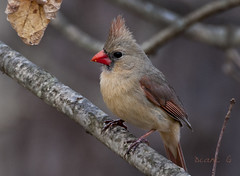 Female Cardinal  24 (Diane G. Zooms--- On/Off) Tags: cardinal femalecardinal naturephotography redbirds sunrays5 dianegiurcophotography