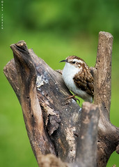 Treecreeper (Gav Jensen) Tags: nature birds nikon tit united great kingdom 300mm hide d750 graden treecreeper jackdoor