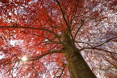 Die Rotbuche (Gruenewiese86) Tags: rot nature canon landscape deutschland natur tamron holz wald baum harz frhling 6d buche baumstamm 1530 natu wlder rotbuche frhling wlder