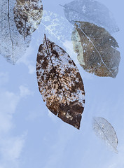 weathered leaves (marianna armata) Tags: blue winter sky leaves skeleton leaf spring structure worn magnolia seethrough skeletal marianna hss deatil armata sliderssunday p2300231