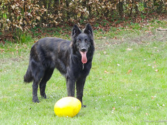 Opale and her running egg (Louloulerot) Tags: dog chien nature dutch race belgium belgique belgie shepherd egg hond belgian breed berger hollandais dutchshepherd herder hollandse bergerhollandais