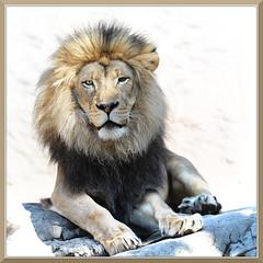 SacZoo_9800 (bjarne.winkler) Tags: by mammal zoo king leo african lion jim sacramento guided panthera kamau hargrove
