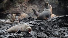 Seal Rocks | Nobbies | Phillip Island | Victoria | Australia (Ben Molloy Photography) Tags: sea wild animals fur island rocks waves wildlife australia sealife victoria seal seals phillip colony | nobbies