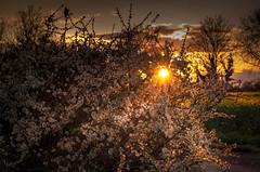 Black Hawthorn Flowers at Sunset- (Allan A Albery) Tags: sunset photography landscapes fields lightroom laceby sonya7ii sonyzeiss2470mmfe blackhawthornbush