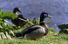 Ducky Au Pair ([ Jaso ]) Tags: blue green bird grass leaves sunshine duck nikon aberdeenshire wildlife feather d750 nikkor quack inverurie riverdon 26300