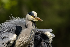 Standing proud (Pakkanen 1974) Tags: bird heron germany de deutschland hamburg ardeacinerea vogel greyheron reiher graureiher bramfeldersee