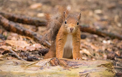 DSC_0701-1 (Romeoliverpool) Tags: red animals forest squirrels formby