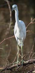 20151224-_74P6507.jpg (Lake Worth) Tags: bird nature birds animal animals canon wings florida wildlife feathers wetlands everglades waterbirds southflorida 2xextender sigma120300f28dgoshsmsports