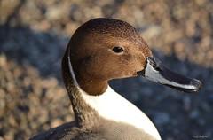 Pintail Portrait (bcsongbird) Tags: duck nikon britishcolumbia reifel pintail northernpintail nikond3200 anatidae anasacuta anseriformes d3200 georgereifelbirdsanctuary