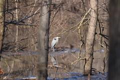 Blue Heron_3842 (Porch Dog) Tags: reflection bird nature water kentucky wildlife feathers fx blueheron slough avian 2016 garywhittington nikond750 nikon200500mm