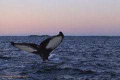 A great 3 hours of photographing Humpback and Orca whales (markfarrer) Tags: ocean water norway tail arctic whale fjord whales whaletail sommary