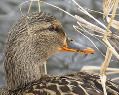Female Mallard (joanspictures1) Tags: pictures park portrait lake minnesota female canon duck posing palmer mallard waterfowl resident brooklynpark yearround