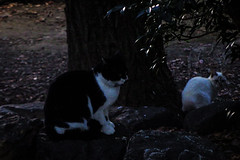 Today's Cat@2016-01-07 (masatsu) Tags: cat pentax cc100 catspotting mx1 thebiggestgroupwithonlycats
