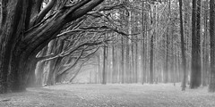 Silent Forest (Lee Sie) Tags: trees blackandwhite bw mist tree nature fog pine forest grove branches arbor cypress