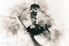colibri-humming bird (MARTINEZ PHOTOGRAPY) Tags: life wild bird animal steel wildlife aged humming pjaro colibri