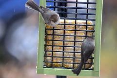 Flock of American bushtits-001 (fyberduck) Tags: winter oregon portland birdfeeder psaltriparusminimus americanbushtit