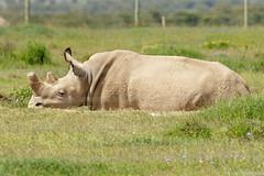 Rinoceronte-branco-do-norte (dragoms) Tags: africa mammal kenya wildlife natureza rhino rinoceronte mamífero quénia northernwhiterhinoceros olpejeta ceratotheriumsimumcottoni dragoms rinocerontebrancodonorte