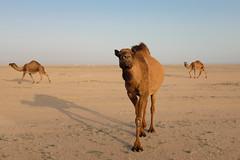 Camels. (shaunrobertclancy) Tags: winter sunset desert camel kuwait camels naturepreserve goldenhour