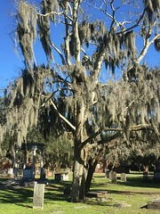 Live Oak in the Cemetary (djpalmer1953) Tags: trees georgia cemetaries savannah