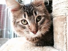 Rupert is sleepy (Kenster79) Tags: cute cat kitten pussy meow pussycat