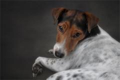 Innocense 1   6 (Marijke M2011) Tags: pet animal studio indoor hond huisdier foxterrier petportrait dogportrait onschuld studiolightning hondenportret onbedorvenheid