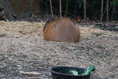 Capybara (Crimson-Butterfly) Tags: animal animals st zoo louis capybara