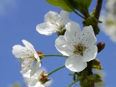 An enlarged flower of a Cherry tree. (Bienenwabe) Tags: cherry prunusavium prunus kirsche kirschblte rosaceae sskirsche