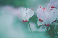 White and Pink Cyclamen (lfeng1014) Tags: toronto flower macro closeup soft dof bokeh depthoffield greenhouse dreamy cyclamen macrophotography lifeng  centennialparkconservatory canon5dmarkiii 100mmf28lmacroisusm whiteandpinkcyclamen
