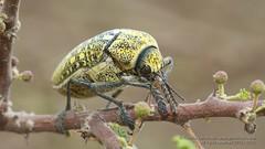 319A5890 Sulphurous jewel beetle, Julodis euphratica, UAE (Priscilla van Andel (Uploading database)) Tags: uae jewelbeetle julodiseuphratica buprestidaefamily sulphurousjewelbeetle matingjewelbeetles coleopteraoftheuae