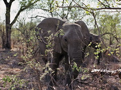 My buddy (chillbay) Tags: africa elephant southafrica krugernationalpark kruger tandatula krugerafrica
